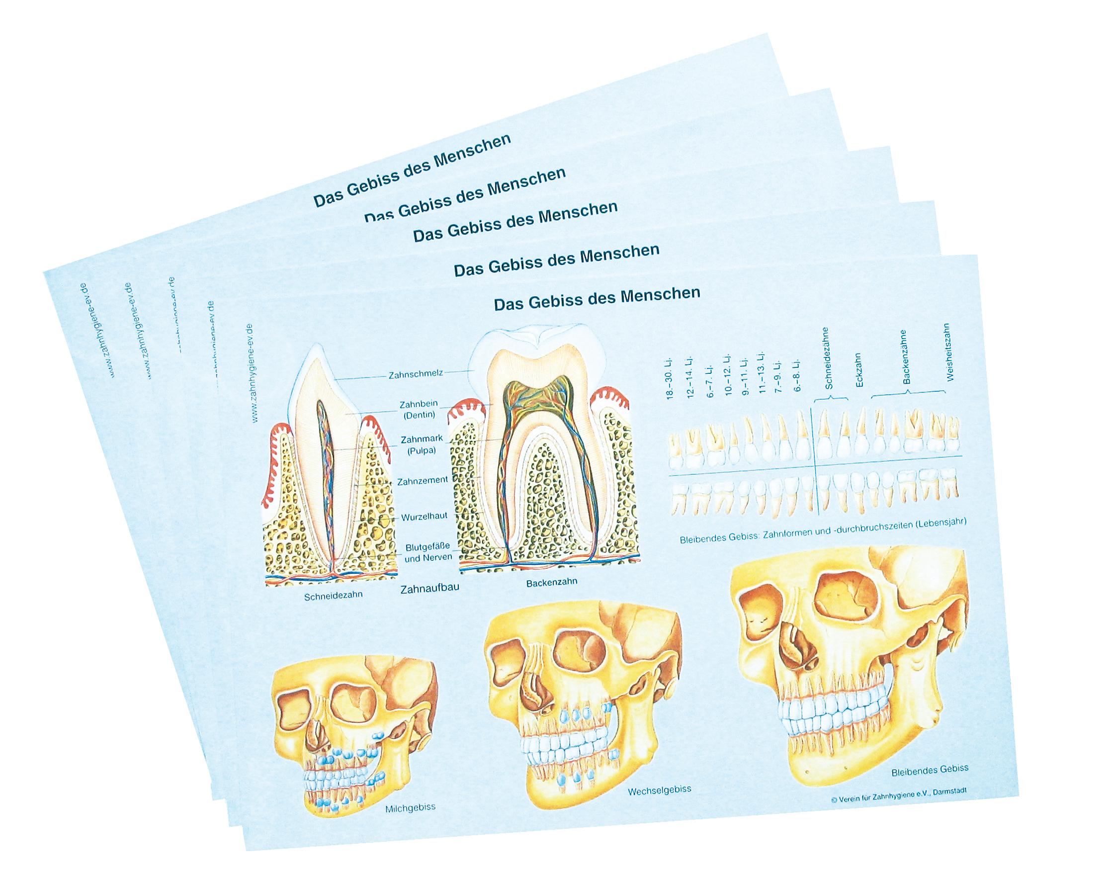 Arbeitsblätter (30 Stück) - Webshop Verein für Zahnhygiene e.V.